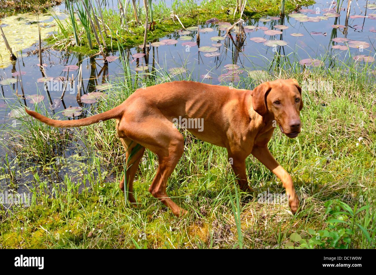 Hungarian Vizsla Dog Magyar Vizsla, Vizsla Gundog shorthaired - Stock Image