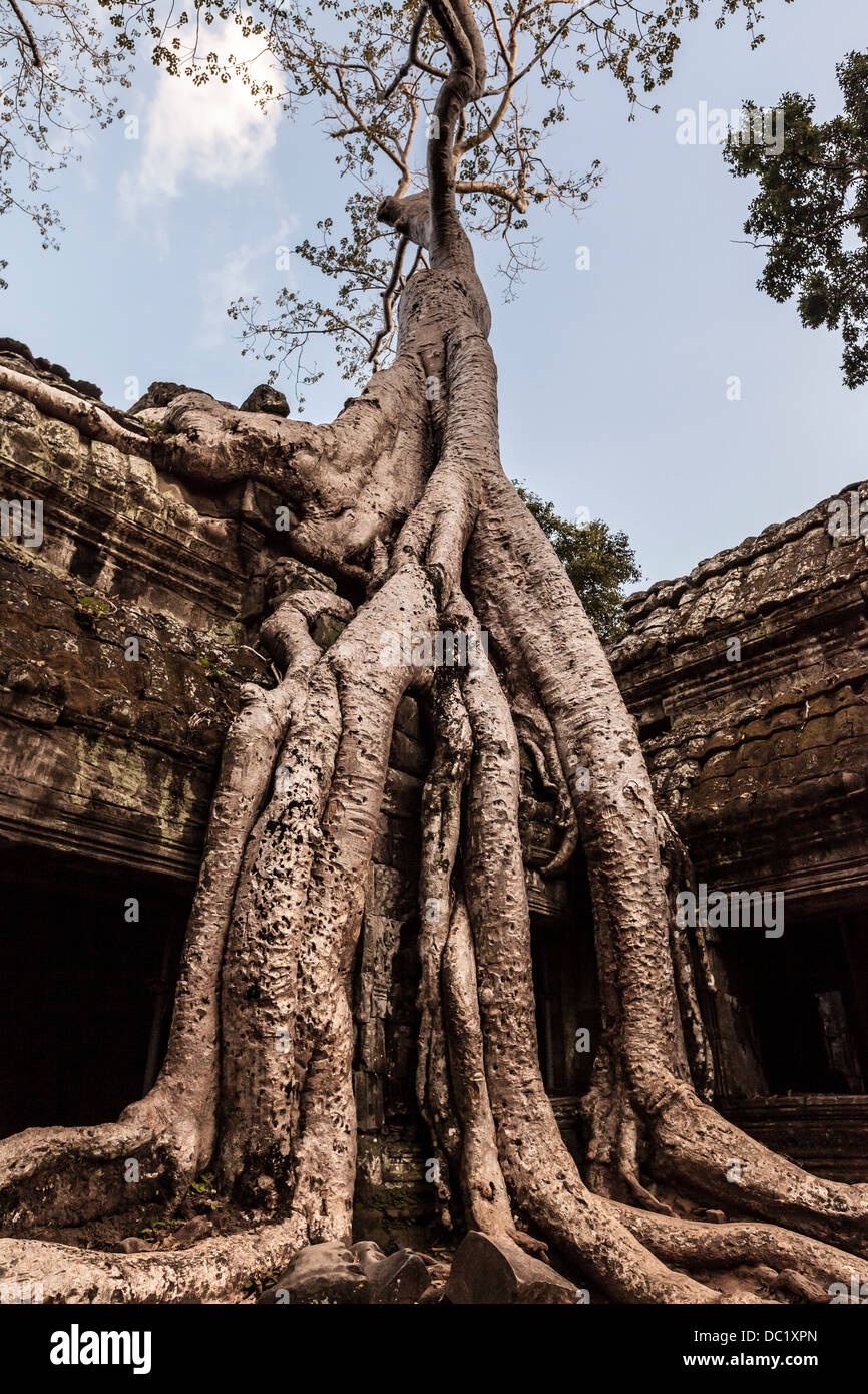 Overgrown tree roots at Ta Prohm Temple ruins at Angkor Wat, Siem Reap, Cambodia - Stock Image