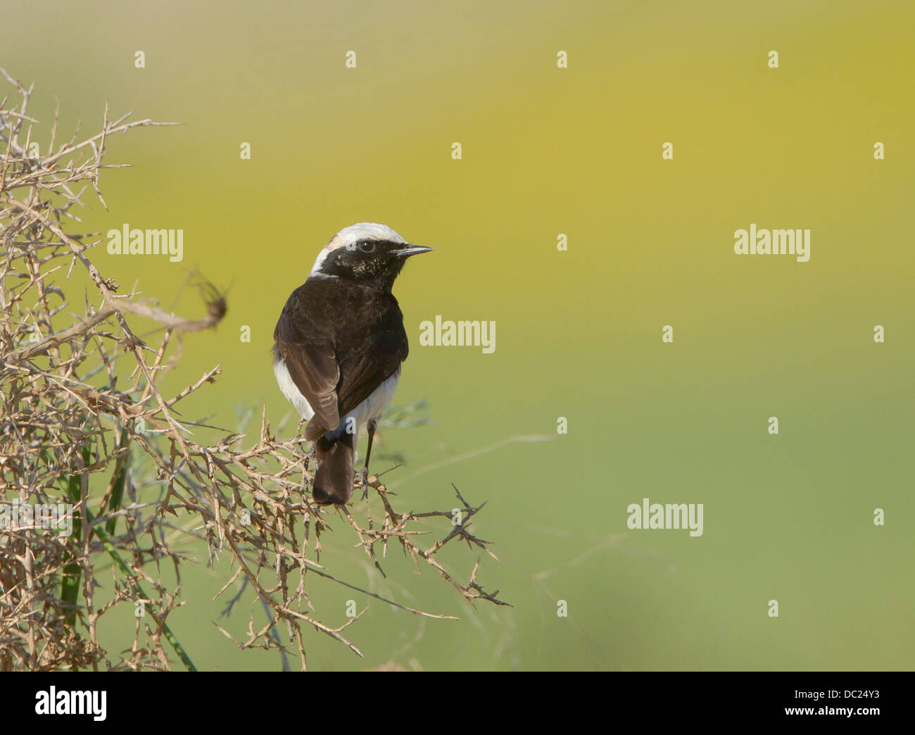 Cyprus Wheatear Oenanthe cypriaca perched on branch cyprus march Stock Photo