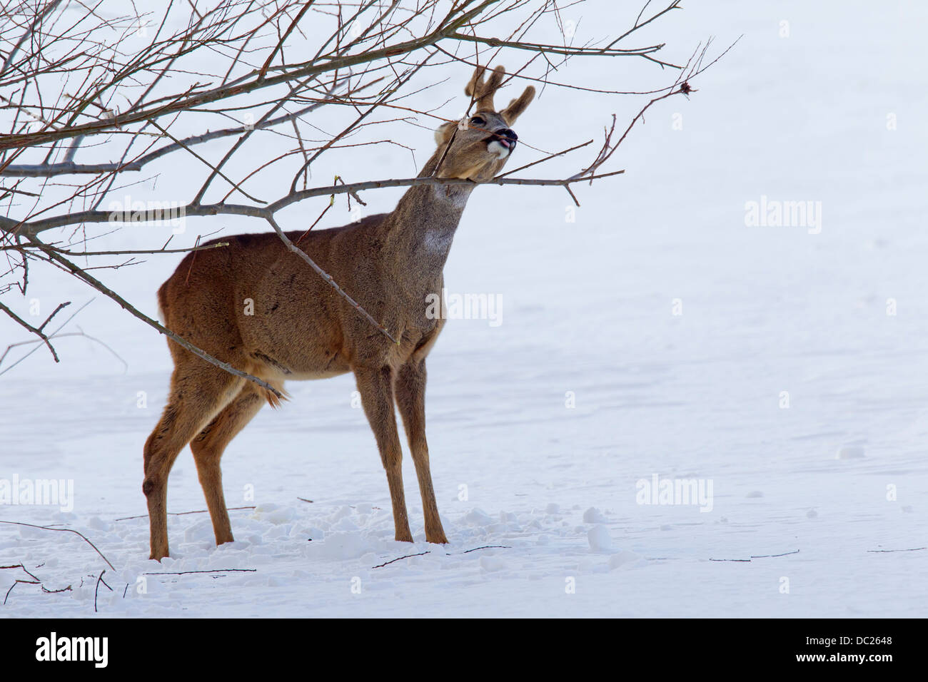 Roe deer (Capreolus capreolus), roebuck / buck feeding on bark from twigs from shrub in the snow in winter - Stock Image