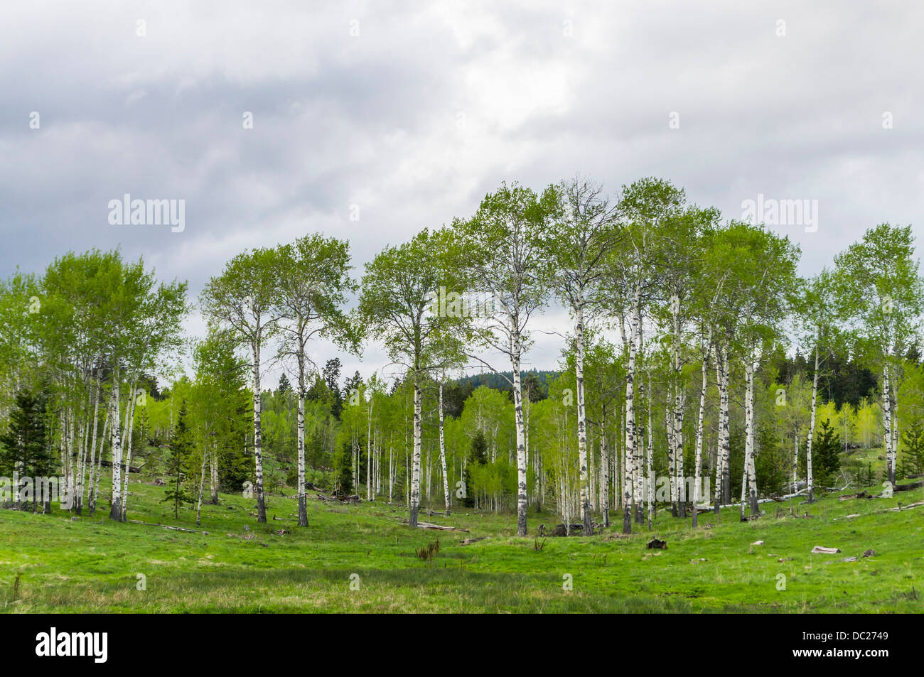 Grove of aspen trees in springtime, Kane Valley, British Colombia, Canada. - Stock Image