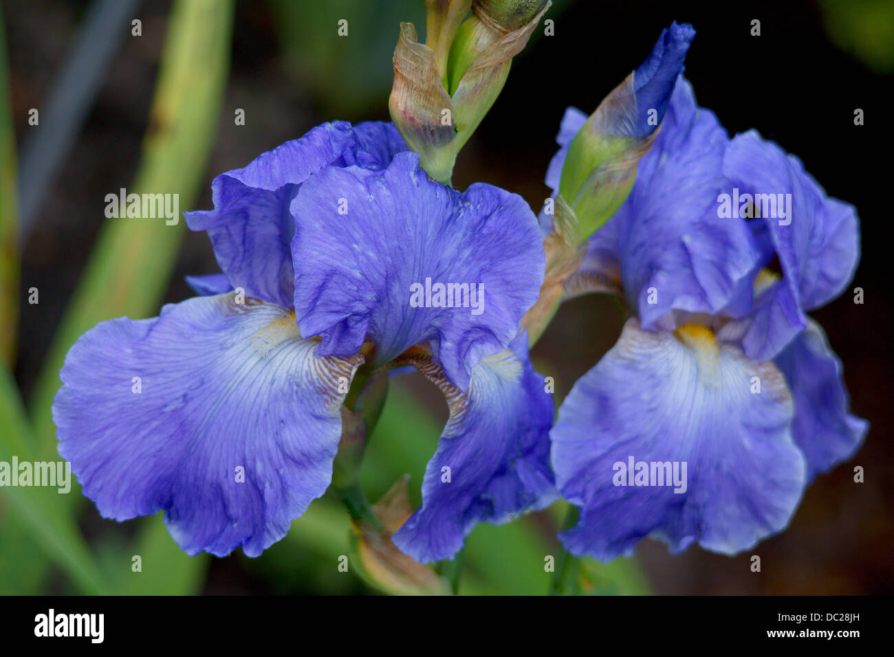 Two Blue Iris Flower Flowers Stock Photos Two Blue Iris Flower