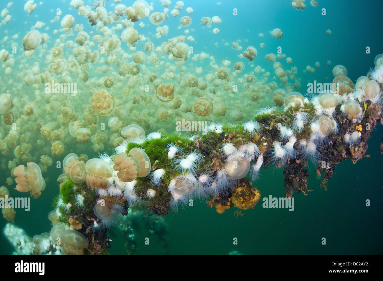 Endemic Anemones feeding on Mastigias Jellyfish, Entacmaea medusivora, Mastigias papua etpisonii, Micronesia, Palau Stock Photo