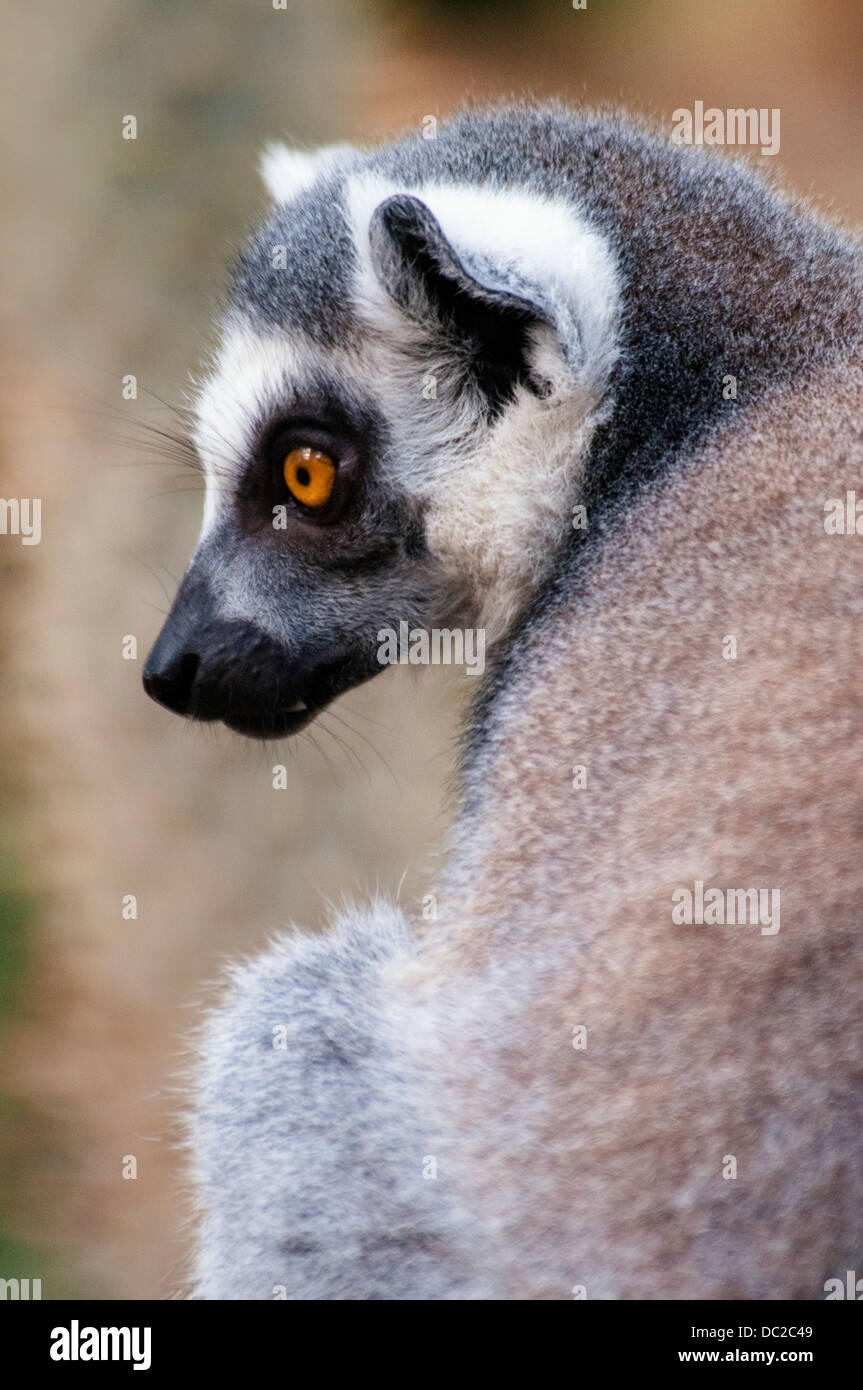Ring-tailed Lemur, Lemur catta, Bronx Zoo, New York City, New York, USA Stock Photo