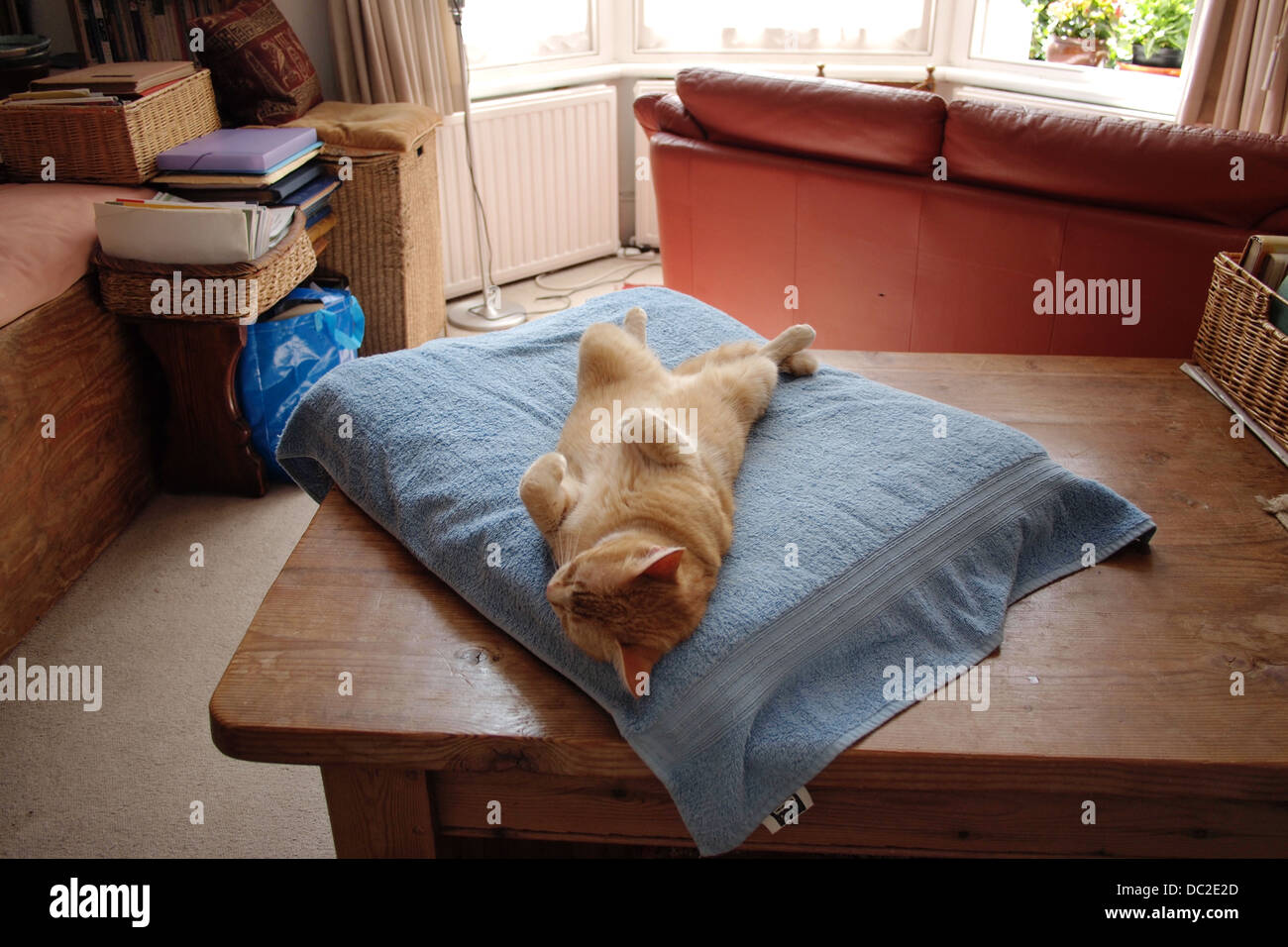 Comfy luxurious ginger house cat sleeping - Stock Image