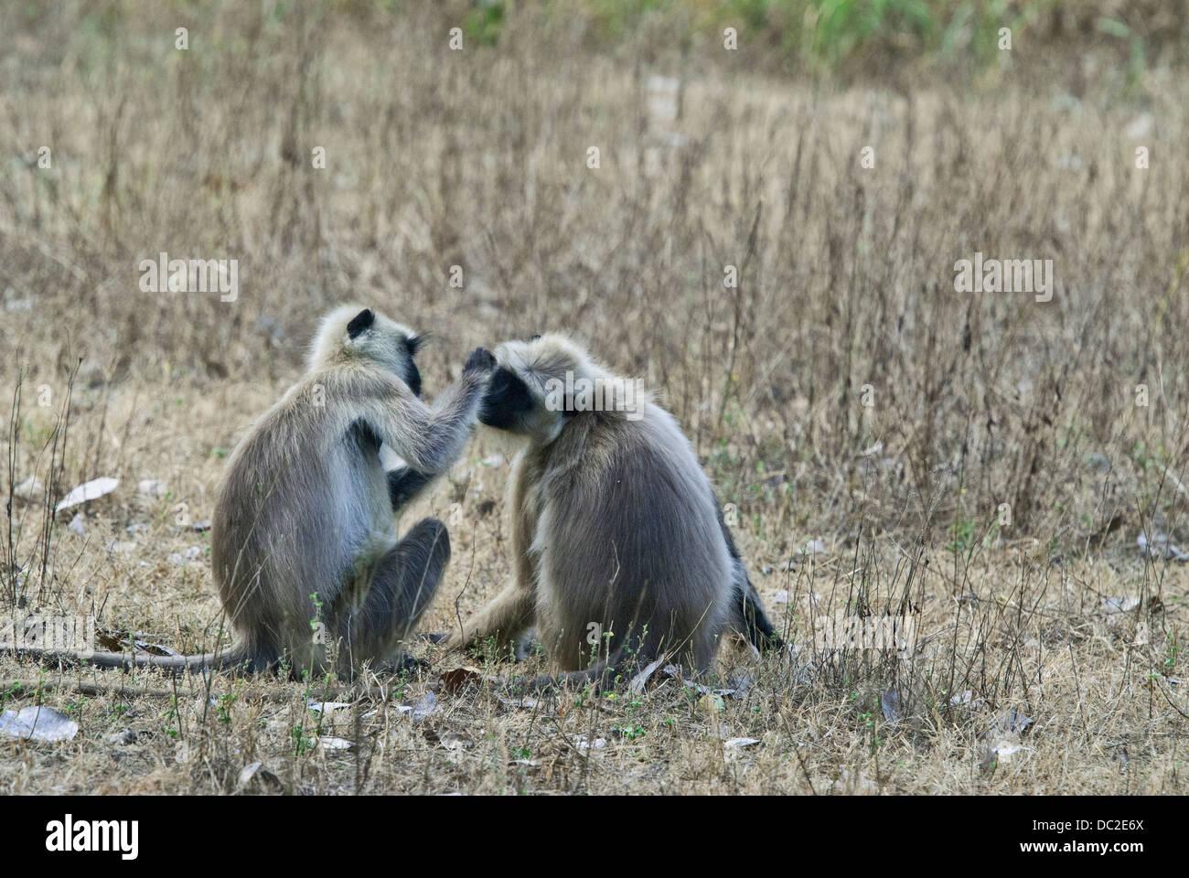 Black-faced Langur monkeys engaged in social grooming in Bandhavgarh National Park, India - Stock Image