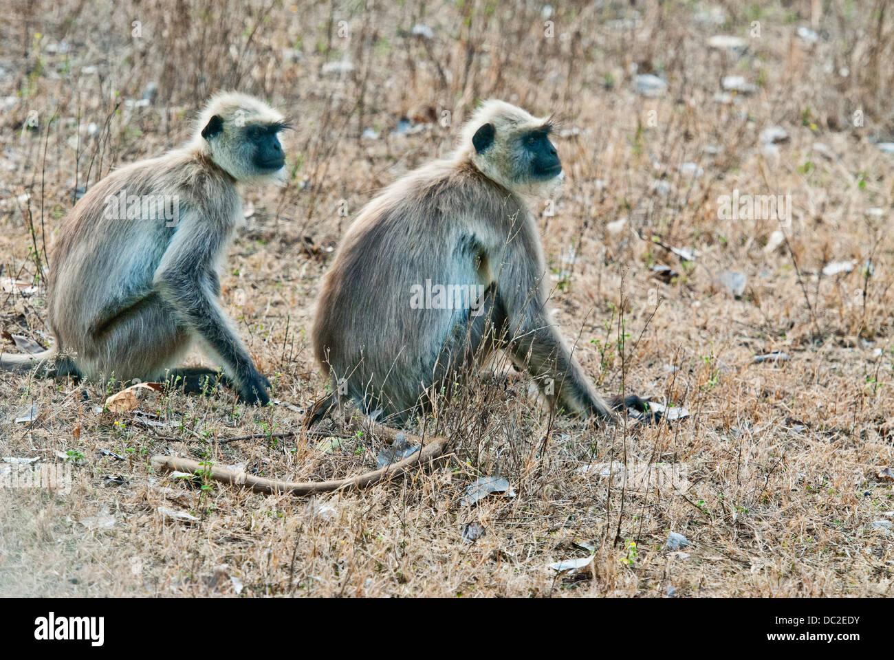 Black-faced Langur monkeys in Bandhavgarh National Park, India - Stock Image