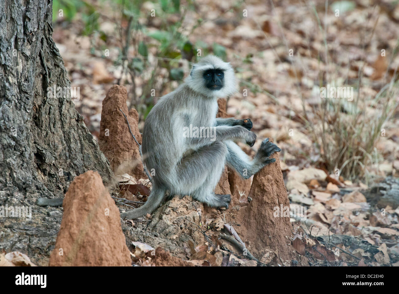 Black-faced Langur monkey sitting on a termite mound in Bandhavgarh National Park, India - Stock Image