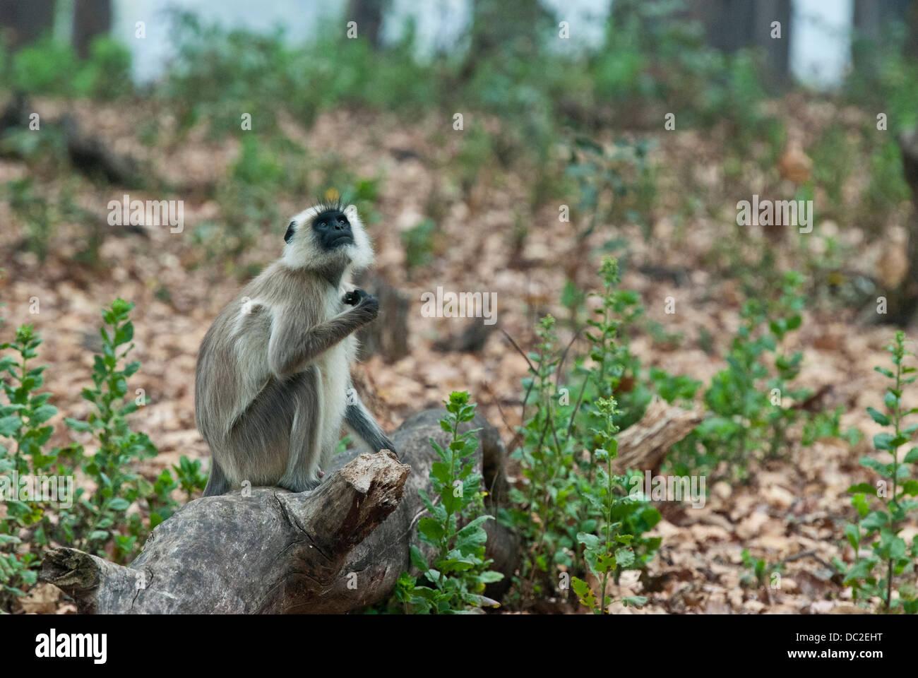 Black-faced Langur monkey sitting on a log in Bandhavgarh National Park, India - Stock Image