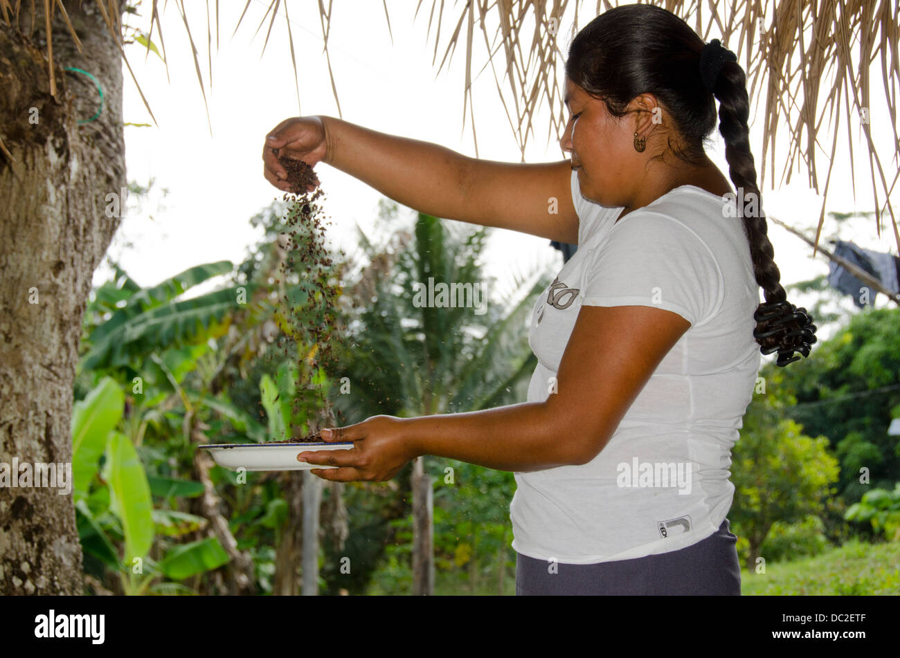 Belize, Punta Gorda, Agouti Cacao Farm. Plantation owner, Elandio Pop. Separating the coco husk from the roasted - Stock Image