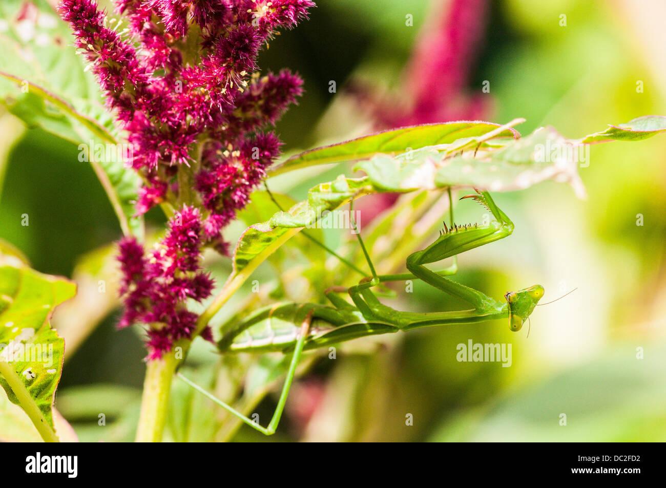 Preying Mantis on Amaranths, Brisbane, Queensland, Australia - Stock Image