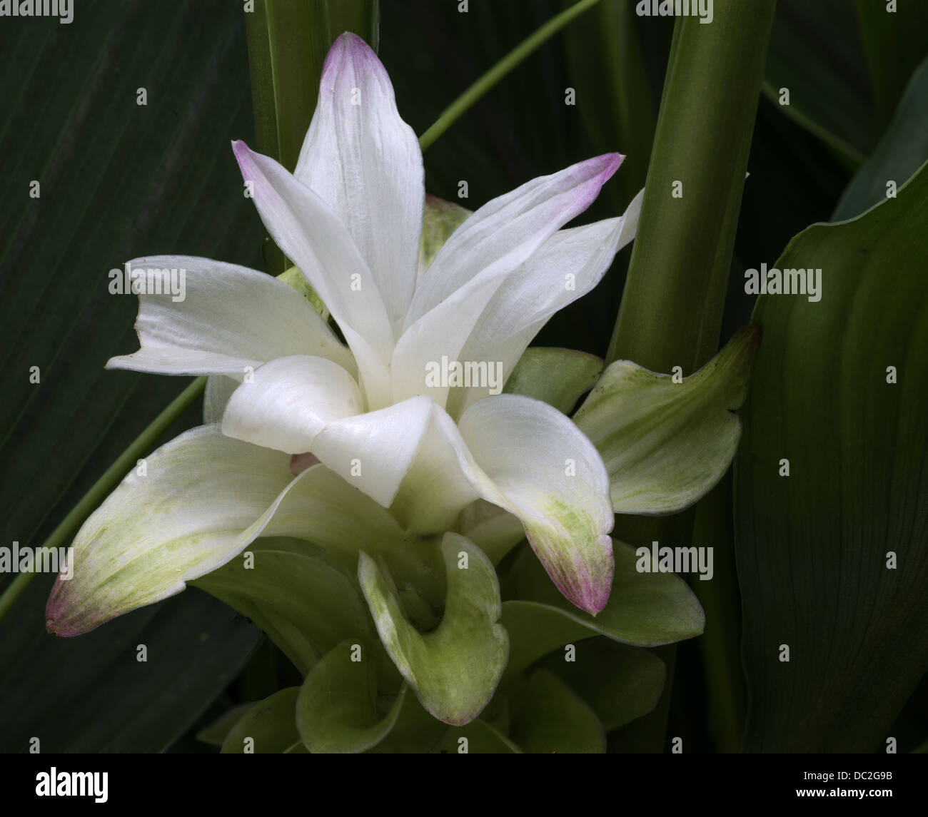 White Ginger Lily Stock Photo 59063687 Alamy