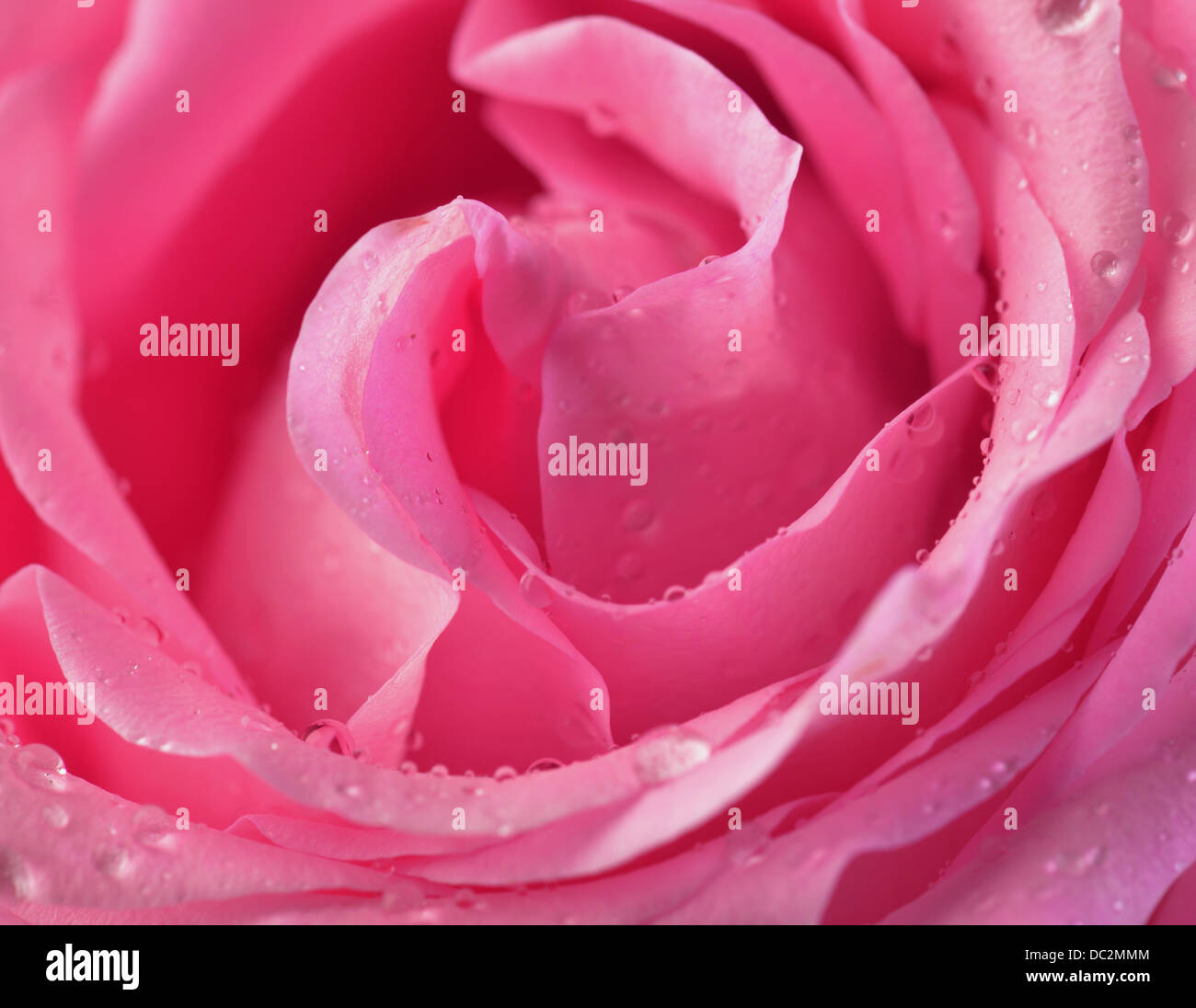 Pink rose bud macro with water drops - Stock Image
