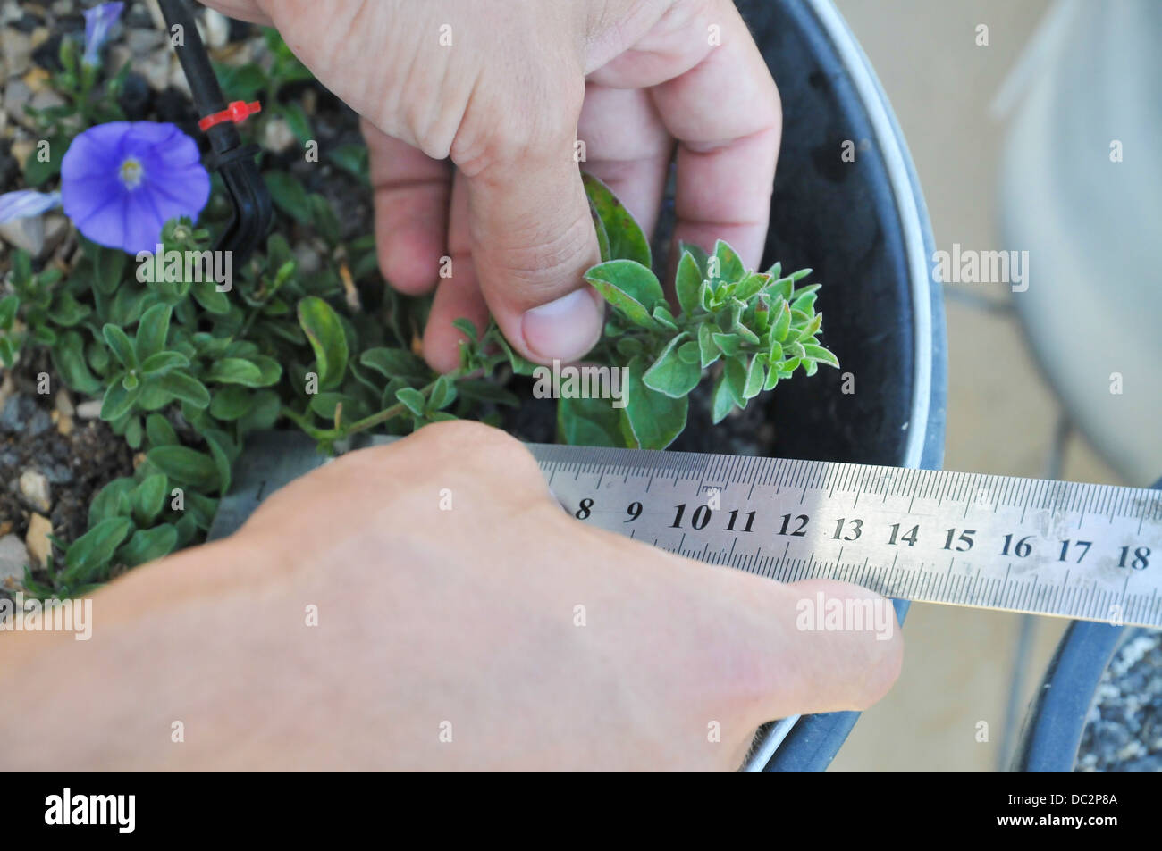 Rooftop garden experiment plants are monitored for growth using differnt soil, irrigation and fertilizers combinations - Stock Image
