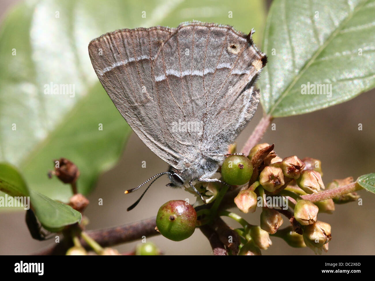 Purple Hairstreak Butterfly (Favonius quercus) foraging and posing on a leaf with wings closed - Stock Image