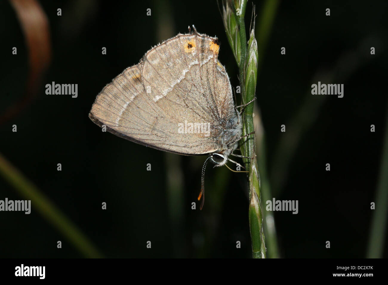 Purple Hairstreak Butterfly (Favonius quercus) clinging to a blade of grass - Stock Image