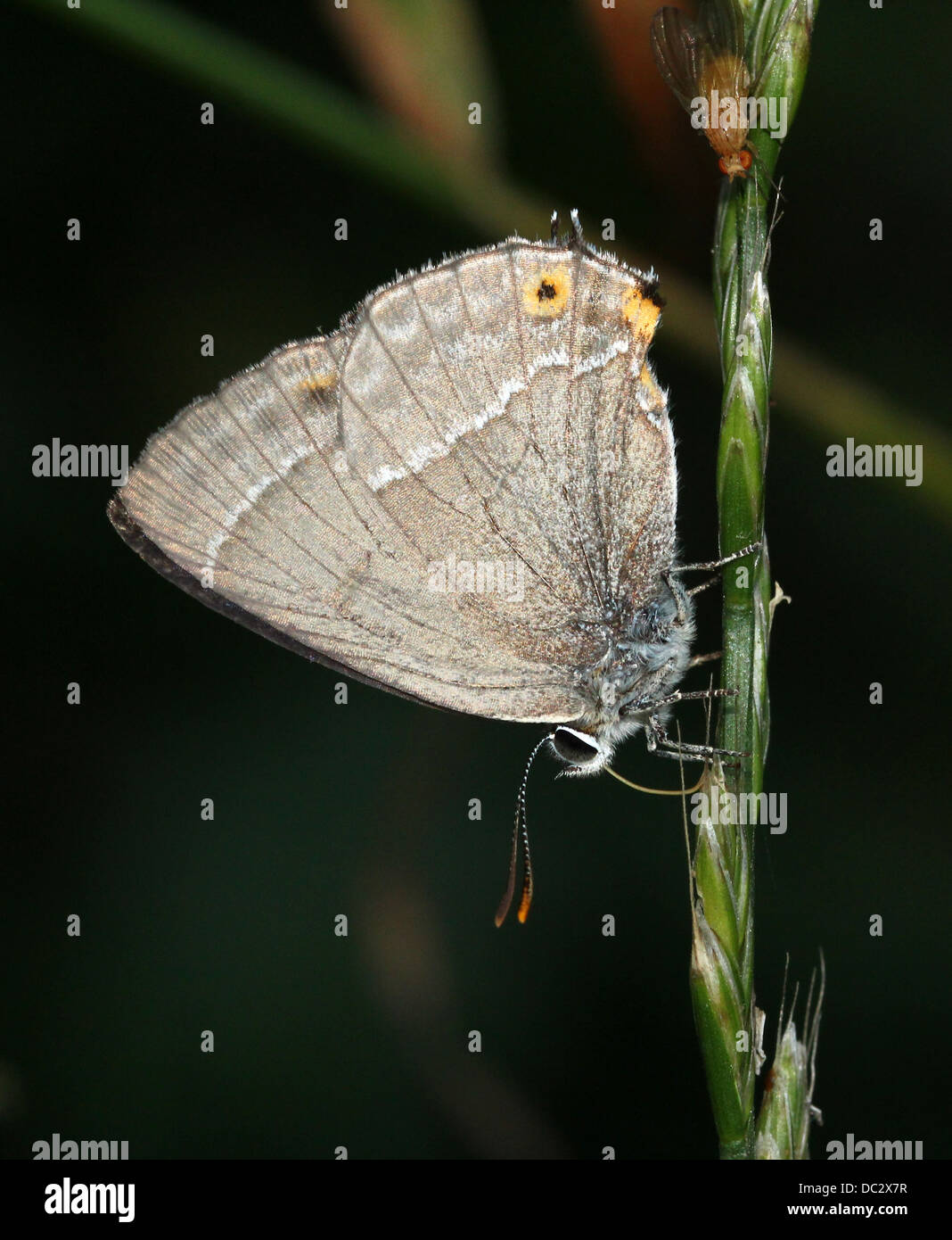 Purple Hairstreak Butterfly (Favonius quercus) posing with wings closed - Stock Image