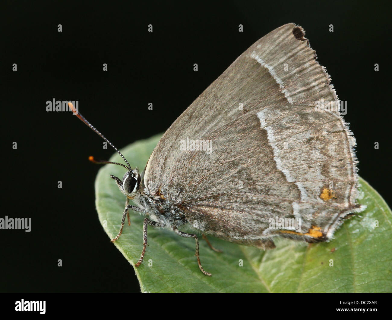 Purple Hairstreak Butterfly (Favonius quercus) posing on a leaf with wings closed - Stock Image