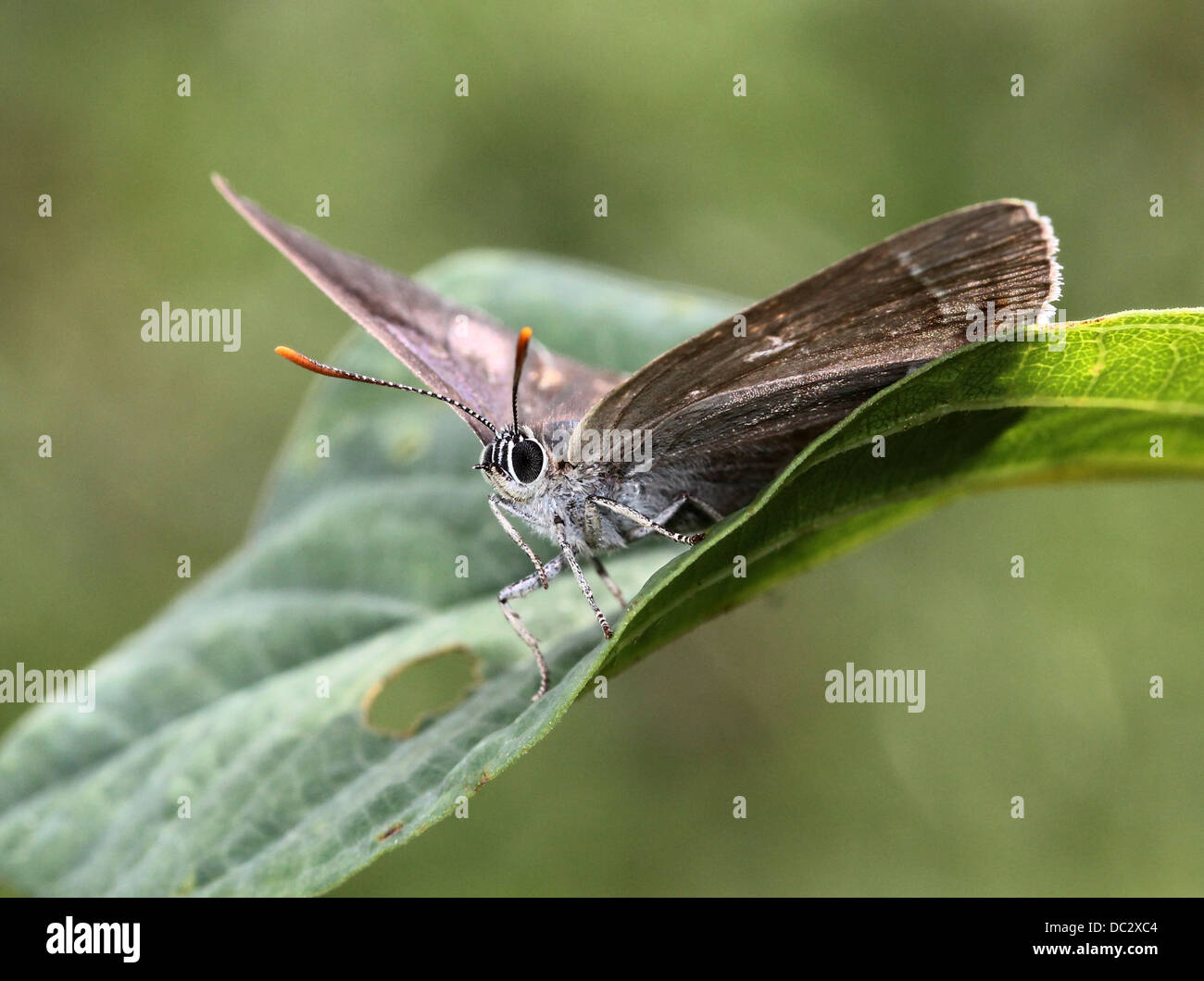 Female Purple Hairstreak Butterfly (Favonius quercus) posing on a leaf with wings opened - Stock Image