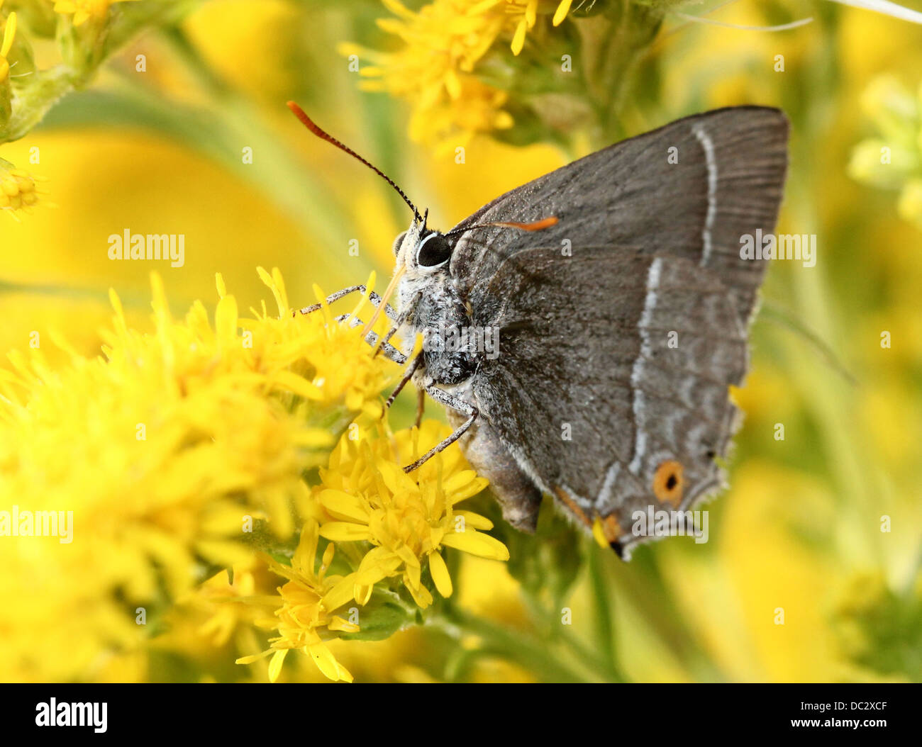 Purple Hairstreak Butterfly (Favonius quercus) foraging and posing on Solidago (Goldenrod) flowers wings closed - Stock Image
