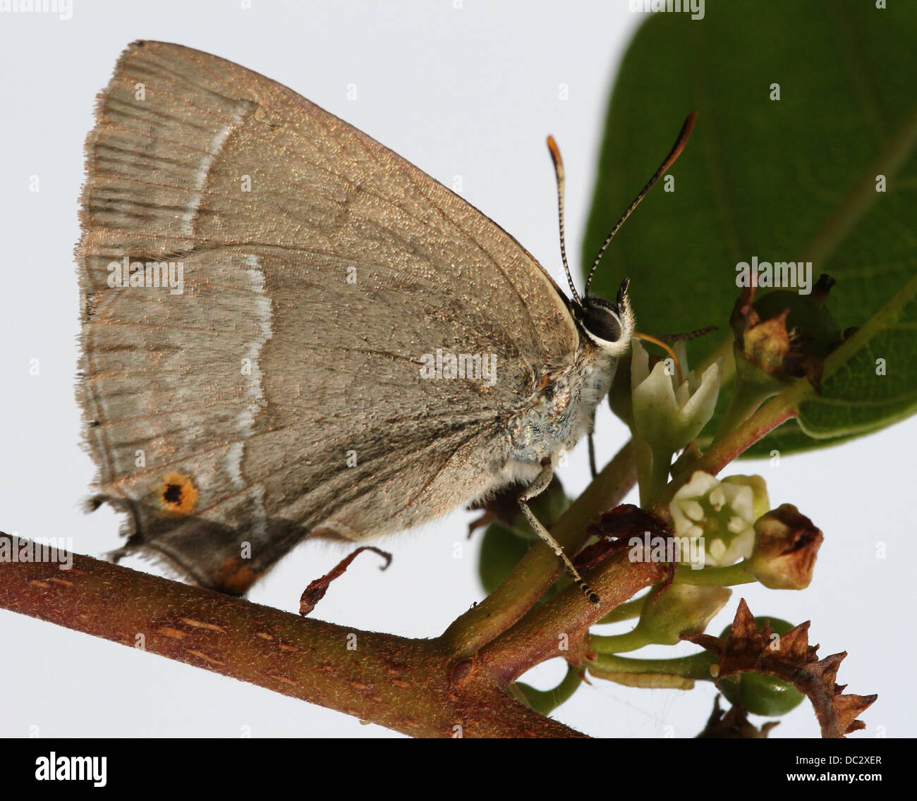 Detailed close-up of a male Purple Hairstreak Butterfly (Favonius quercus) foraging on a flower with wings closed - Stock Image