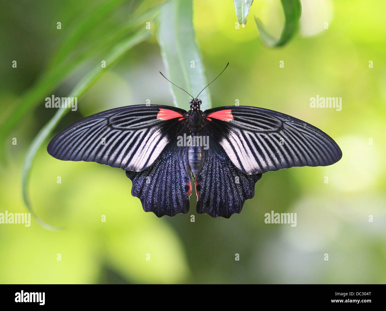 Female of Great Mormon (Papilio memnon). The large butterfly belongs to the swallowtail family and is found in southern - Stock Image