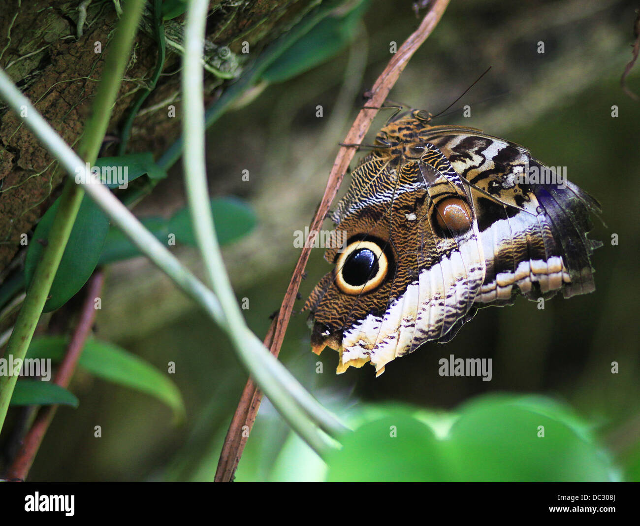 A Peleides Blue Morpho butterfly (Morpho peleides), also known as Common Morpho or The Emperor, perching on a plant. Stock Photo