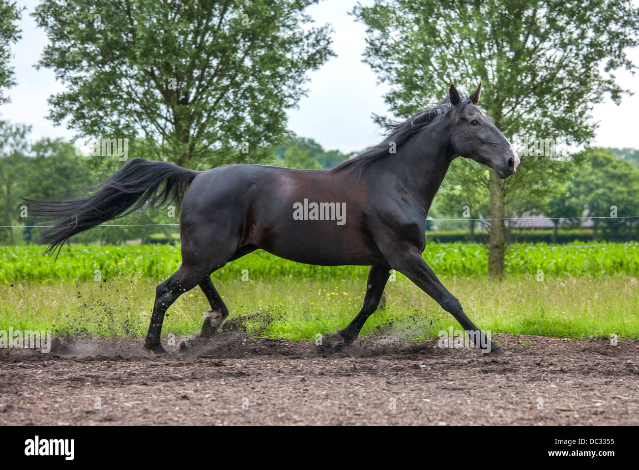 Brown horse trotting in field, trot is a two-beat gait involving diagonal pairs of legs - Stock Image