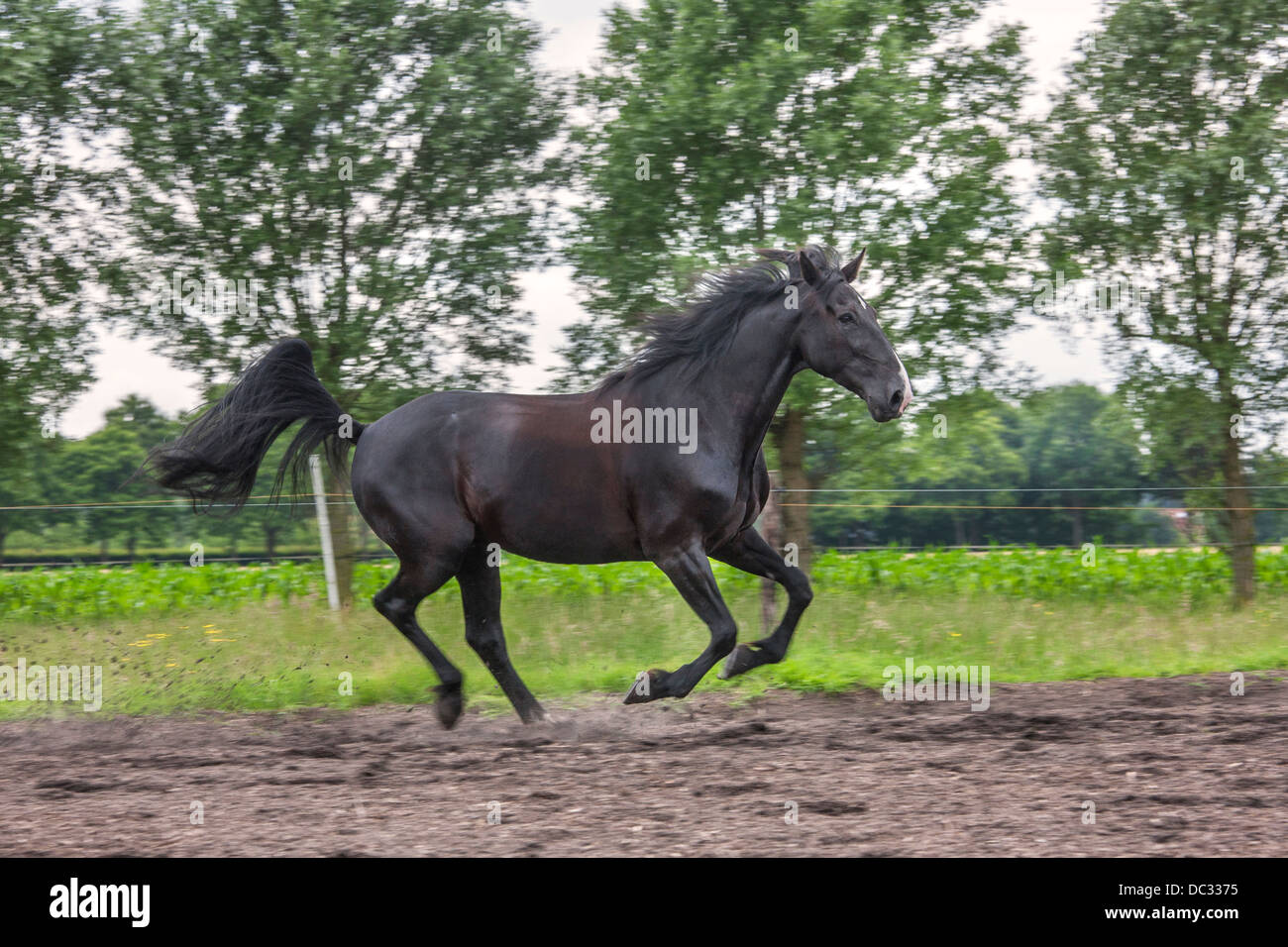 Brown horse galloping in field, gallop is a four-beat gait - Stock Image