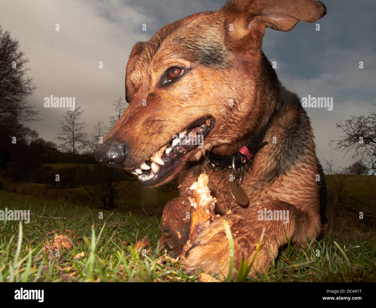 Close up portrait of a dog chewing a stick - Stock Image