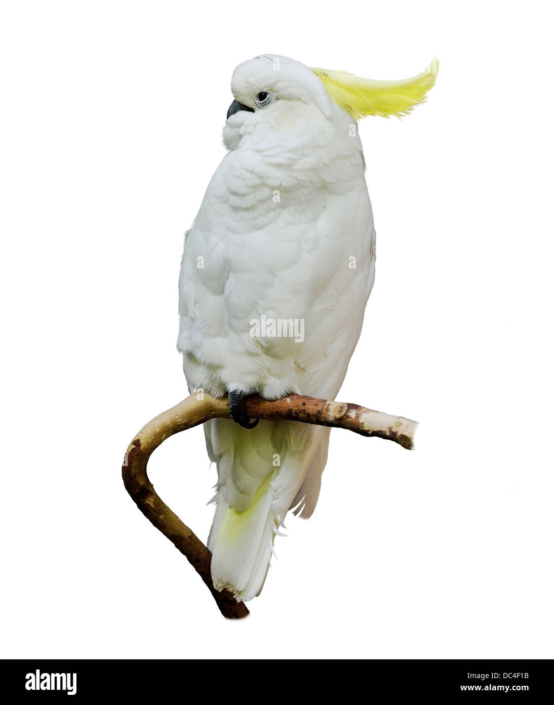 Yellow-Crested Cockatoo On White Background - Stock Image