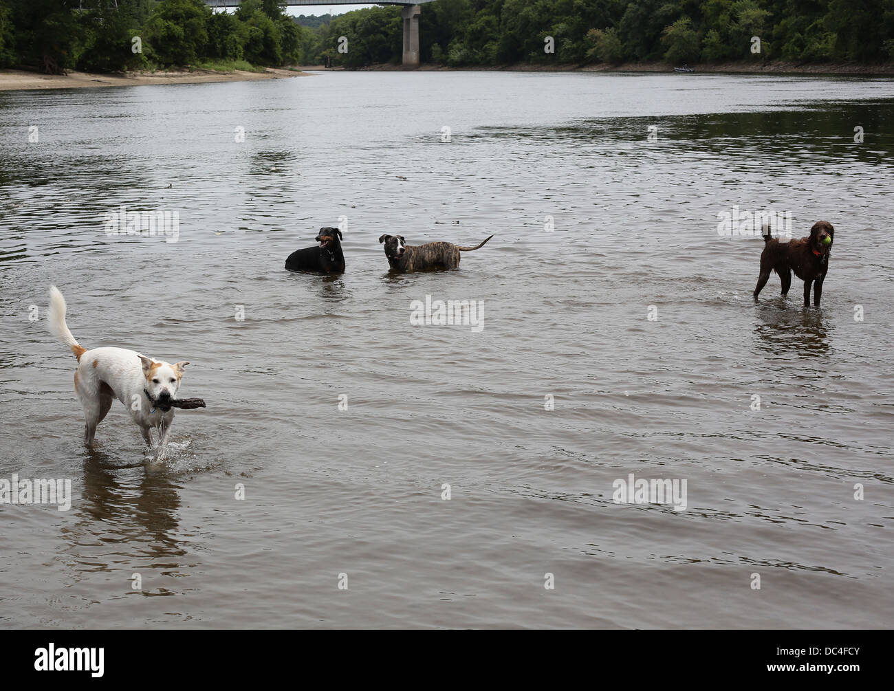Dogs playing in water at a dog park. - Stock Image