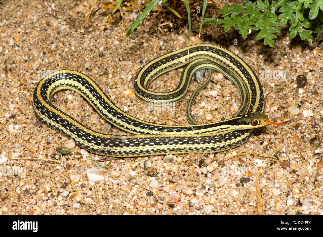Western Ribbon Snake Thamnophis proximus origin unknown 21 July Adult Colubridae - Stock Image