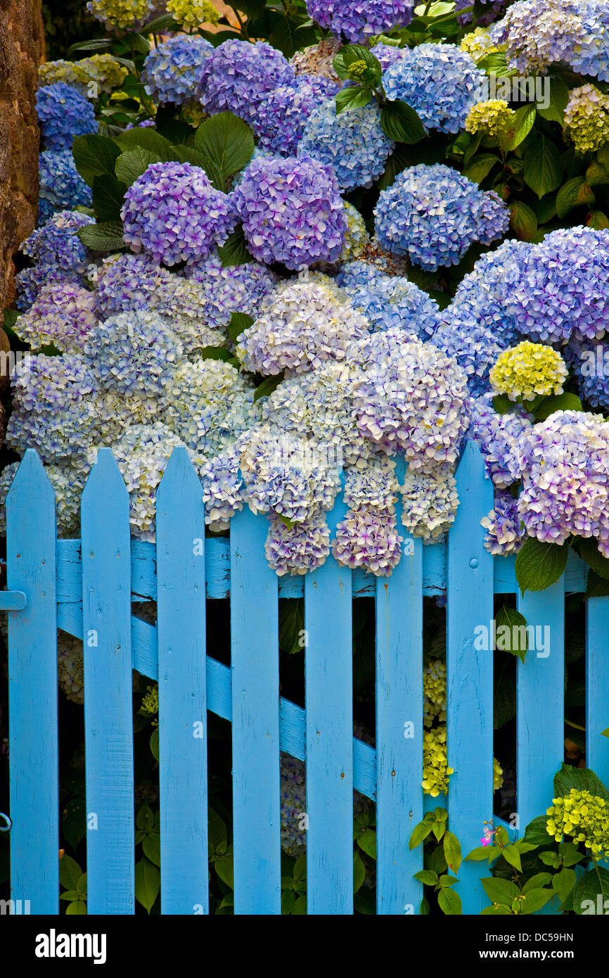 Hydrangeas and blue gate - Stock Image
