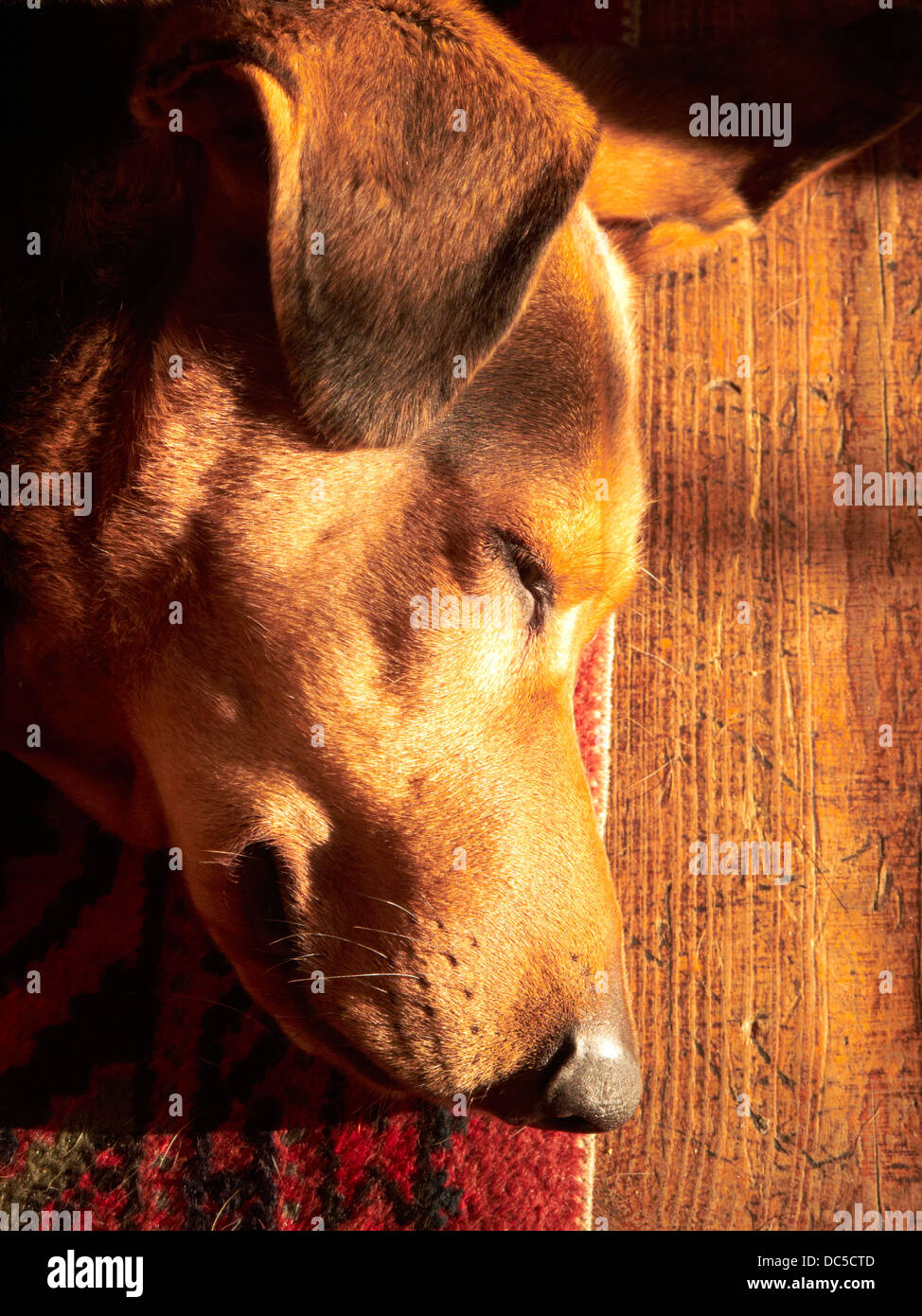 sleeping dog - Stock Image