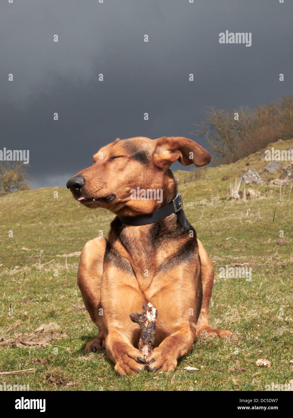 Prone Dog - Stock Image