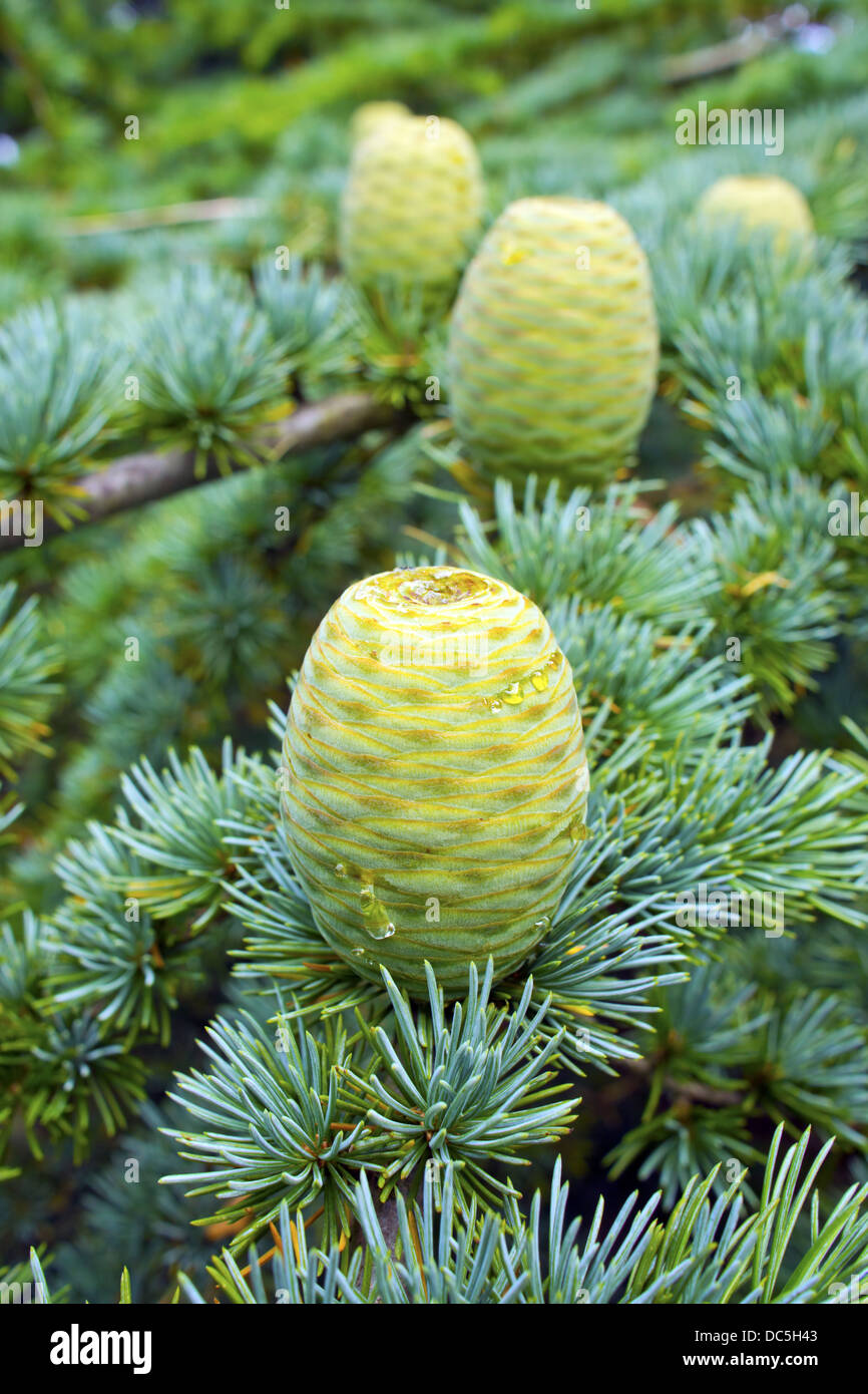 New pine cones on a branch of a pine tree. - Stock Image