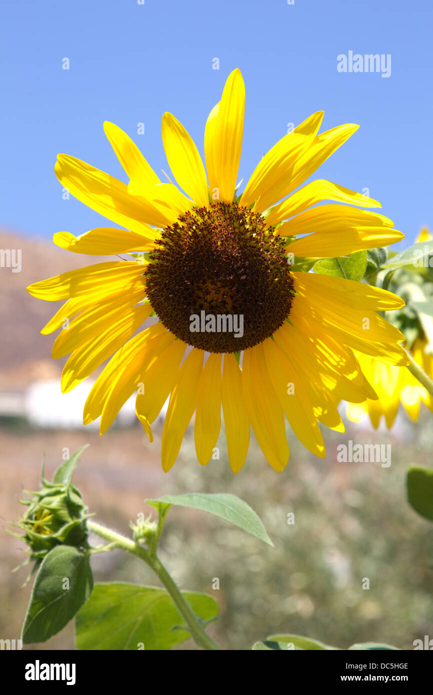 Sunflower-Helianthus annuus native to the Americas - Stock Image