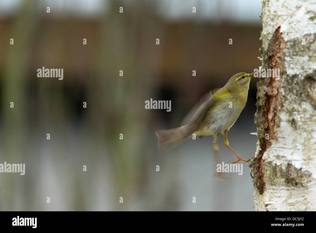A Willow Warbler looking for food on a birch Stock Photo