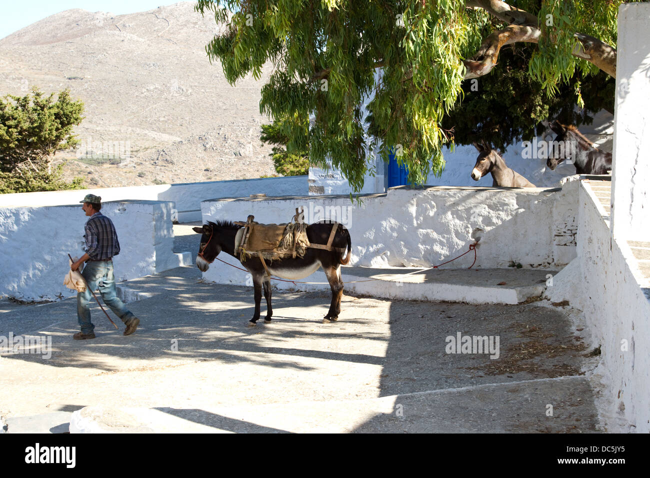 Greek man walks past donkey as mules look on - Stock Image