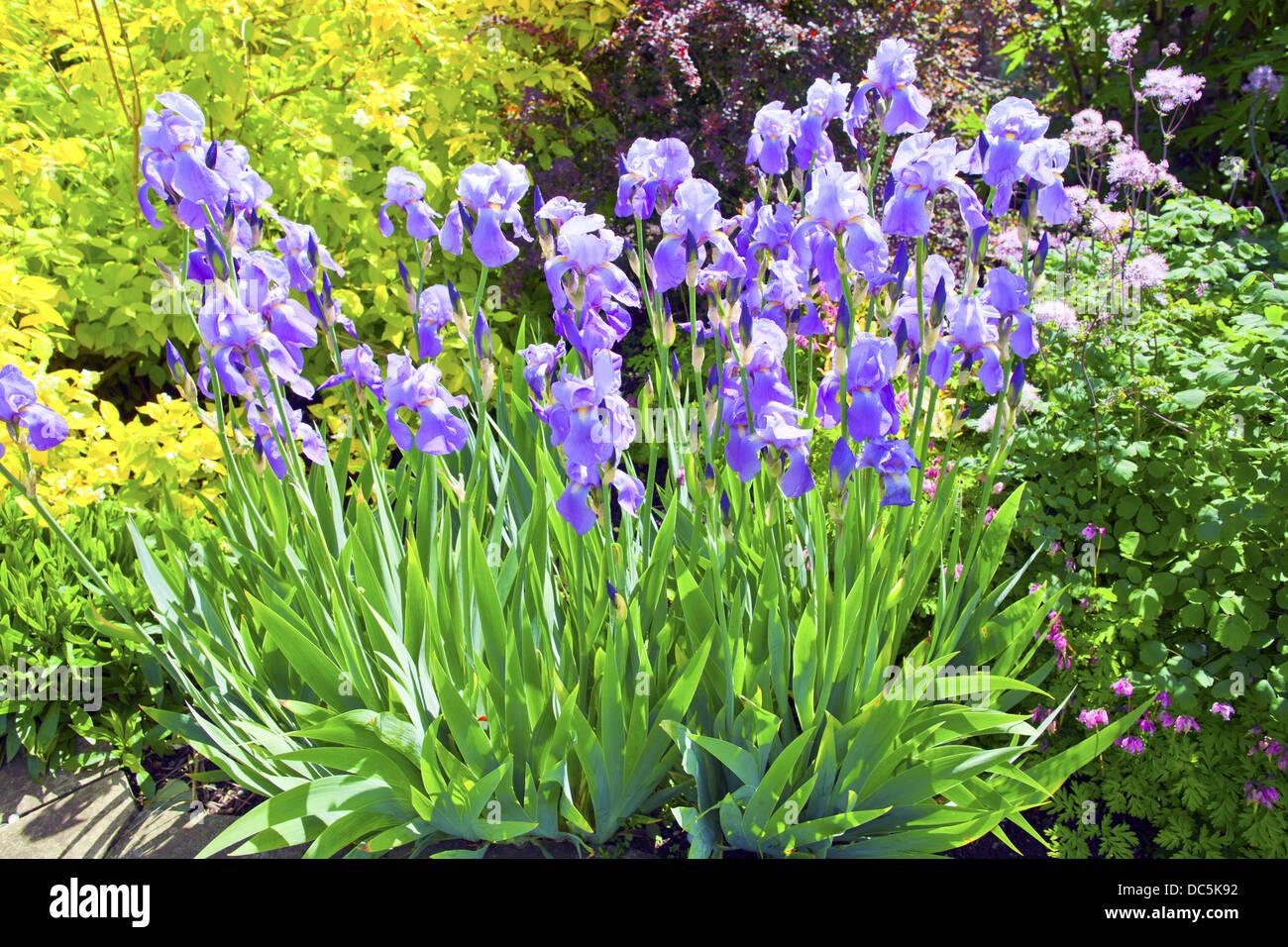 Flowering blue iris plants in a garden. - Stock Image