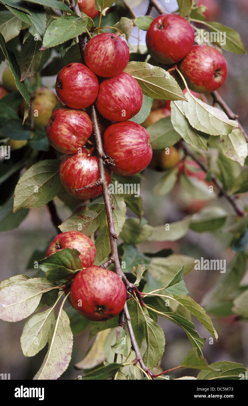 Reineta apples - Stock Image