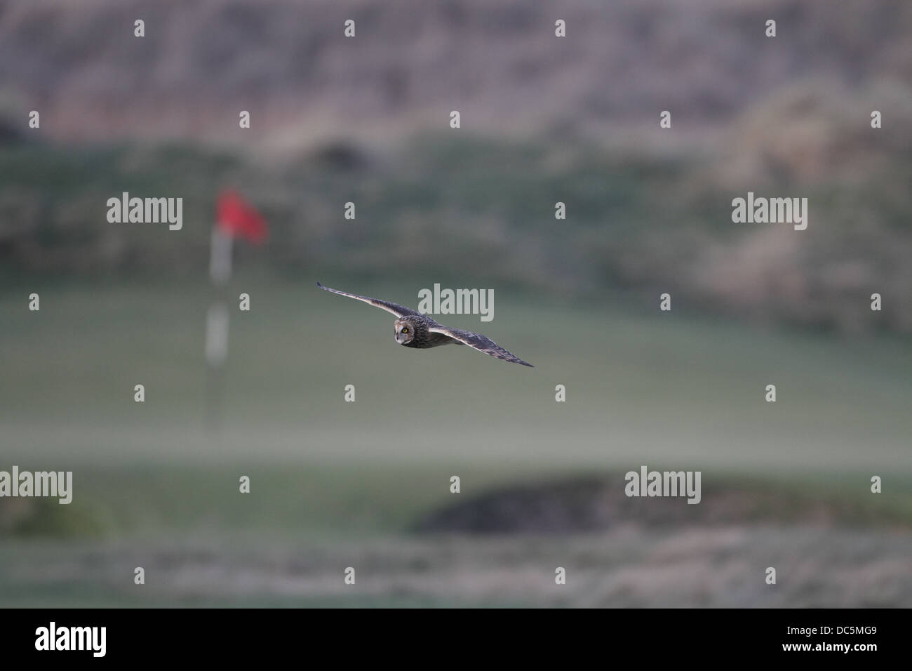 Short-eared Owl, Asio flammeus, flying over golf green - Stock Image