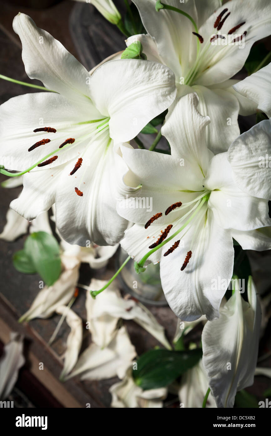 Vase white lilies with falling petals as they die - Stock Image