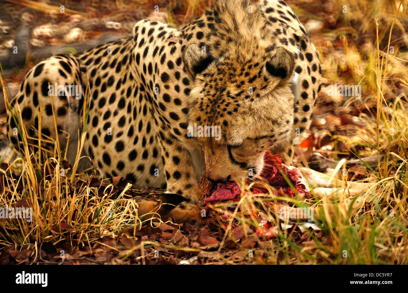 Cheetah Lea with a collar, eating a young Impala, north of the Kene road in the Moremi Game Reserve, Botswana - Stock Image