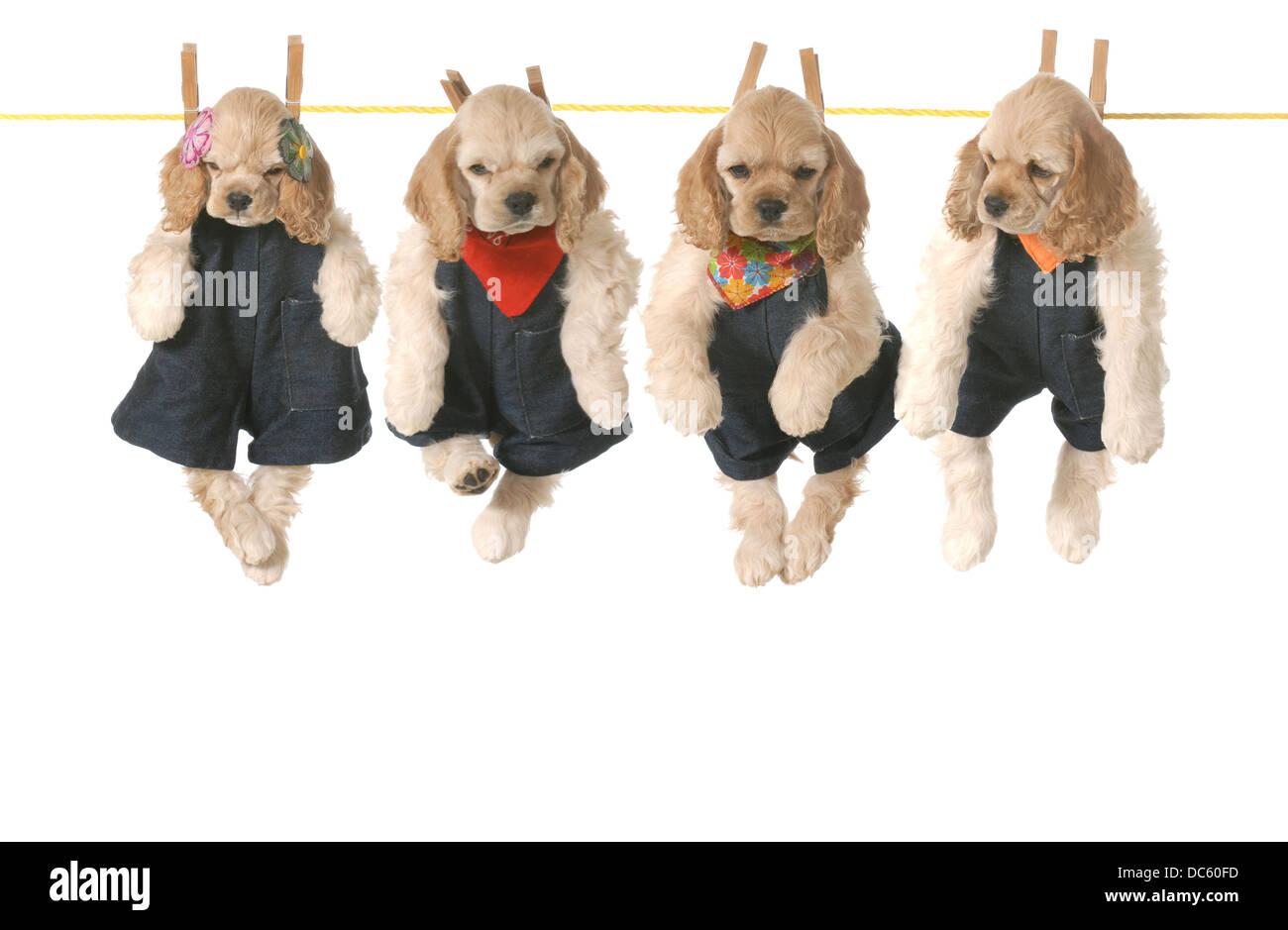 litter of puppies - four american cocker spaniel puppies hanging on a clothesline - 7 weeks old - Stock Image