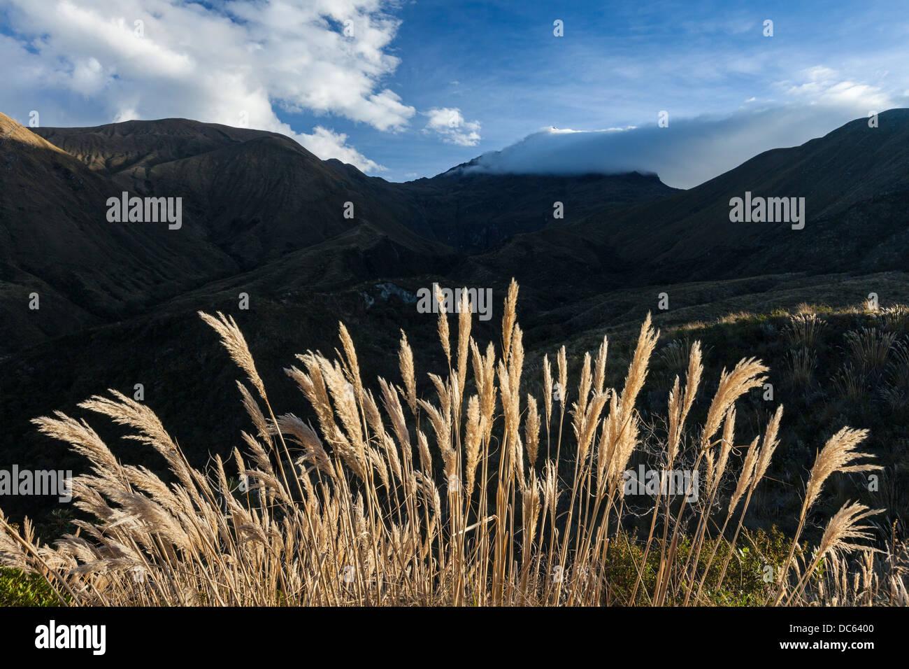 Pampas Grass on Cotacachi volcano, Otavalo, Ecuador Stock Photo
