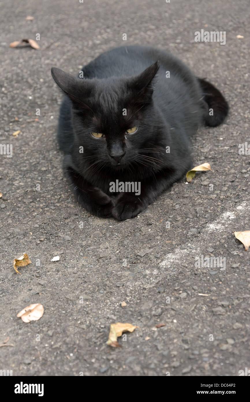 Undomesticated cat Stock Photo