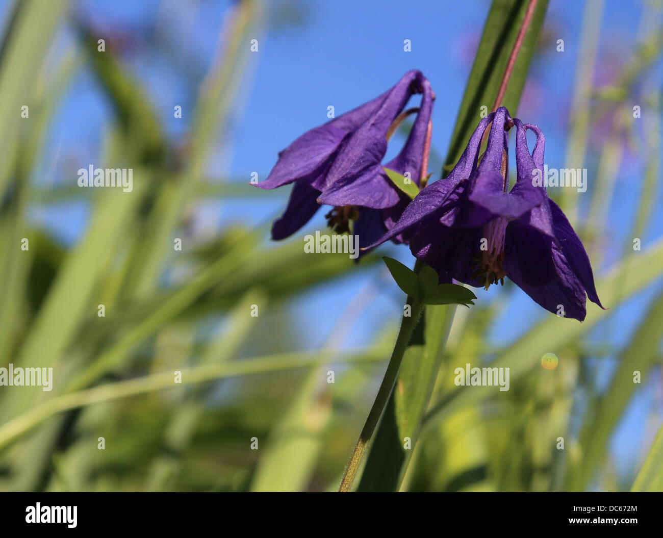 Aquilegia, violet coloured, shot from below - Stock Image