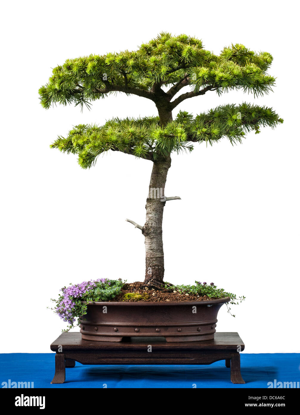 Conifer cyprus cedar as bonsai tree is white isolated - Stock Image